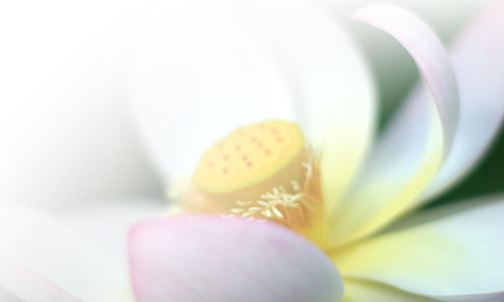 Der Lotus